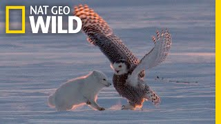 Download Why Is This Arctic Fox 'Dancing″ With a Snowy Owl? | Nat Geo Wild Video