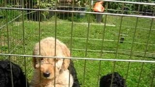 Download Choosing a Labradoodle Puppy Video
