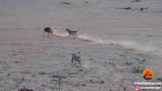 Download WATCH: Lone hyena runs for its life after entering lion den Video