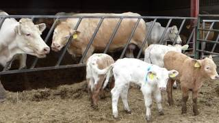 Download Cows and calves turnout with farm cat and Red Kite (DOTF Series 3, Episode 2) Video
