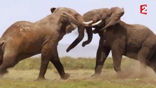 Download Combat d'éléphants impressionnant - ZAPPING SAUVAGE Video