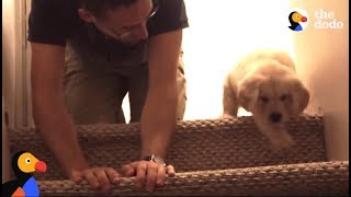 Download Puppy Tries Stairs For First Time With Help From Dad | The Dodo Video