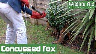 Download Shaken fox just needed bed rest Video