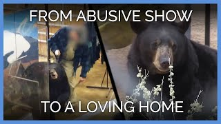 Download Watch 5 Bears Go From Abusive Show to Loving Home Video
