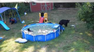 Download A bear family takes a dip in our pool - Part II Video