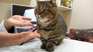 Download 처음 만난 사람에게 애교 부리는 고양이 Video