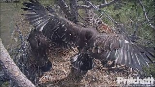 Download SWFL Eagles ~ 8 Weeks Old ~ Both E's Showcase Their Wings 2.21.18 Video