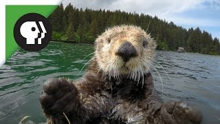 Download Robot 'Spy Otter' Makes New Friends Video