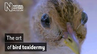 Download The art of bird taxidermy | Natural History Museum Video