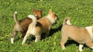 Download Shiba Inu Mix Puppies For Sale Evan Brubaker Video