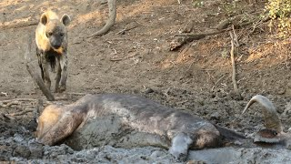 Download Hyena Finds Buffalo Alive & Stuck in Mud Video