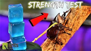 Download BEETLE STRENGTH TEST: The Rhino Beetle Games (Round Two) Video