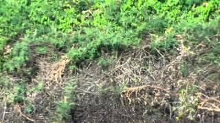 Download Jaguar diving into river to catch a Caiman Video
