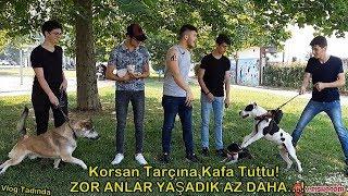 Download Pitbull , Pitbull Yavrusu , Alman Kurdu , Husky , İle Sokakta Gezdik Korsan Tarçın'a Kafa Tuttu! Video