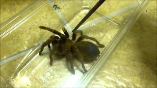 Download Setting up my new T - AF Selenocosmia javanensis Video