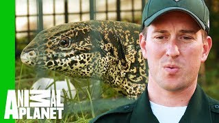Download Two Foot Long Lizard Caught Roaming Wild in a Backyard | North Woods Law Video
