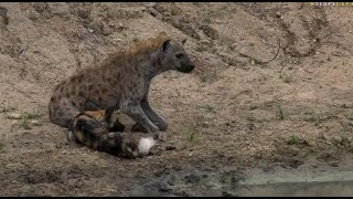 Download Safari Live : The injured Wild Dog being tormented by a lone Hyena Dec 10, 2017 Video