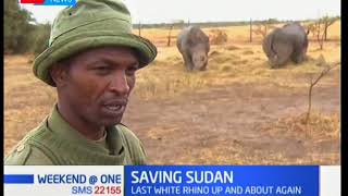 Download World's last male northern white rhino has surprised his keepers by getting up Video