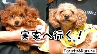 Download ママの実家へ行く♪おまけ動画は夜ごはん☆ トイプードルのTaruto&Rasuku Video