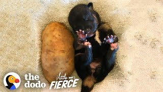Download Who's Cuter — Puppies or Kittens? | The Dodo Little But Fierce Video
