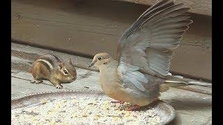 Download Affrontement: Tamie, Tourterelle Et Colvert ! Confrontation: Tamie, Mourning Dove And Mallard Video
