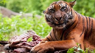 Download ONE TIGER WHO KILLED 439 PEOPLE IN INDIA AND NEPAL-WATCH HERE Video