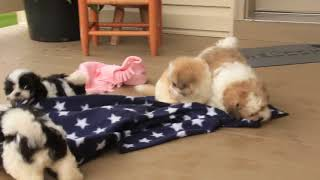 Download Mal Shi Puppies For Sale John Beiler Video