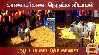 Download காளையர்களை நெருங்க விடாமல் ஆட்டம் காட்டும் காளை | | Jallikattu | Pongal2020 Video