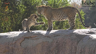 Download A Leopard Family Reunion: Hukumuri, Nyeleti And Son | Adventures In Africa Video