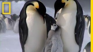 Download Penguin Parent Patrol | National Geographic Video