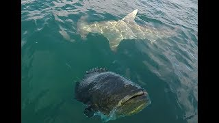 Download Giant Hammerhead Shark and Goliath Grouper Action! Video