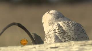 Download Nature: Snowy owls Video