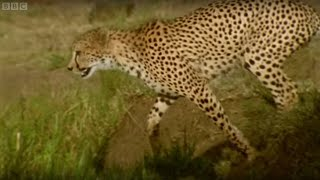Download Adorable Cheetah Brothers Learn To Cross Water | Fast Track to Freedom | BBC Earth Video