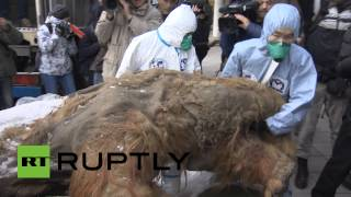 Download RAW: Best-preserved mammoth ever found goes on display in Moscow Video