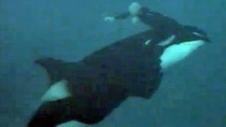 Download Ballena u orca ataca a su entrenador, al cual ve todos los días Video