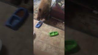 Download Bears Enjoy Cat Food in Living Room || ViralHog Video