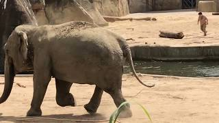Download Kölner Zoo: Pfleger retten Elefanten-Jungbulle Kitai aus dem Wasser Video