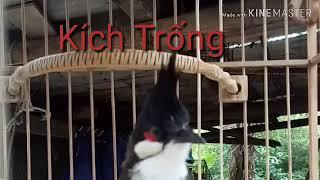 Download Chào mào mái hót kích trống cực căng Video