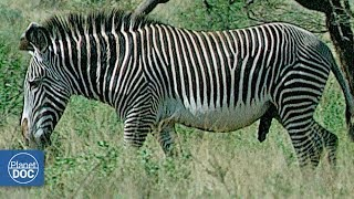 Download Zebras and Giraffes. Samburu National Reserve Video