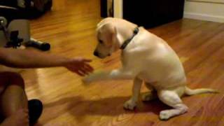 Download 16 week labrador retriever puppy dog training and tricks Video