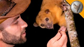 Download SUPER CUTE Kinkajou! Video