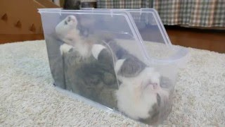 Download スリムなプラケースで寛ぐねこ。-Maru is relaxed in the slim plastic case.- Video