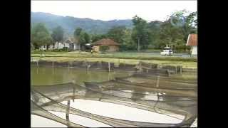 Download Culture of tilapia in Indonesia Video