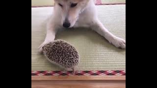 Download Hedgehog with dog Video