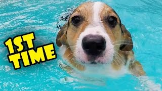 Download CORGI TRIES SWIMMING LESSONS FOR THE 1ST TIME - Life After College: Ep. 493 Video