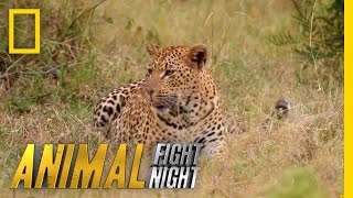 Download Fur is Going to Fly | Animal Fight Night Video