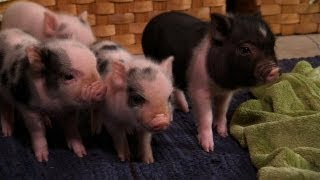 Download Perfectly Precious Potbelly Pigs | Too Cute! Video