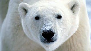 Download Dans la peau d'un prédateur : Pôles Video