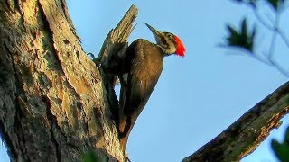 Download Pileated Woodpecker Drumming Video