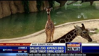 Download Giraffe born at Dallas Zoo in April dies after breaking neck Video